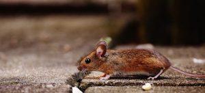 מדביר עכברים